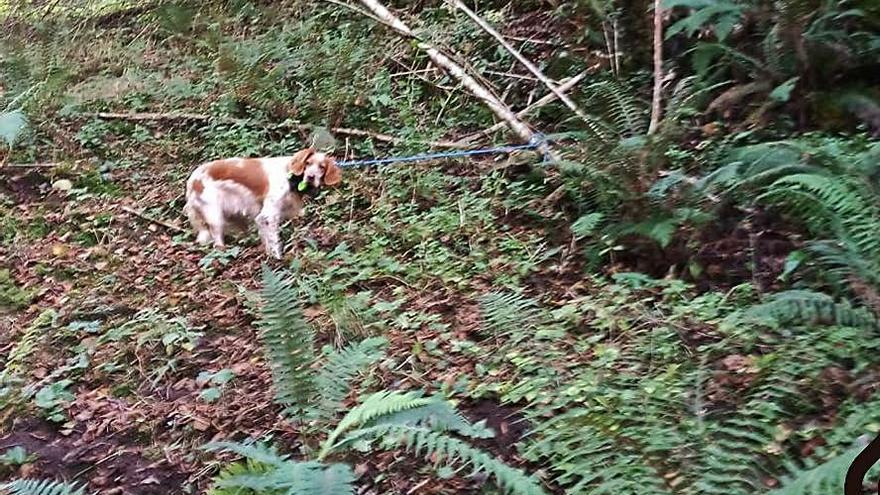 Rescatado un perro de caza que se cayó 40 metros por un terraplén en Parres