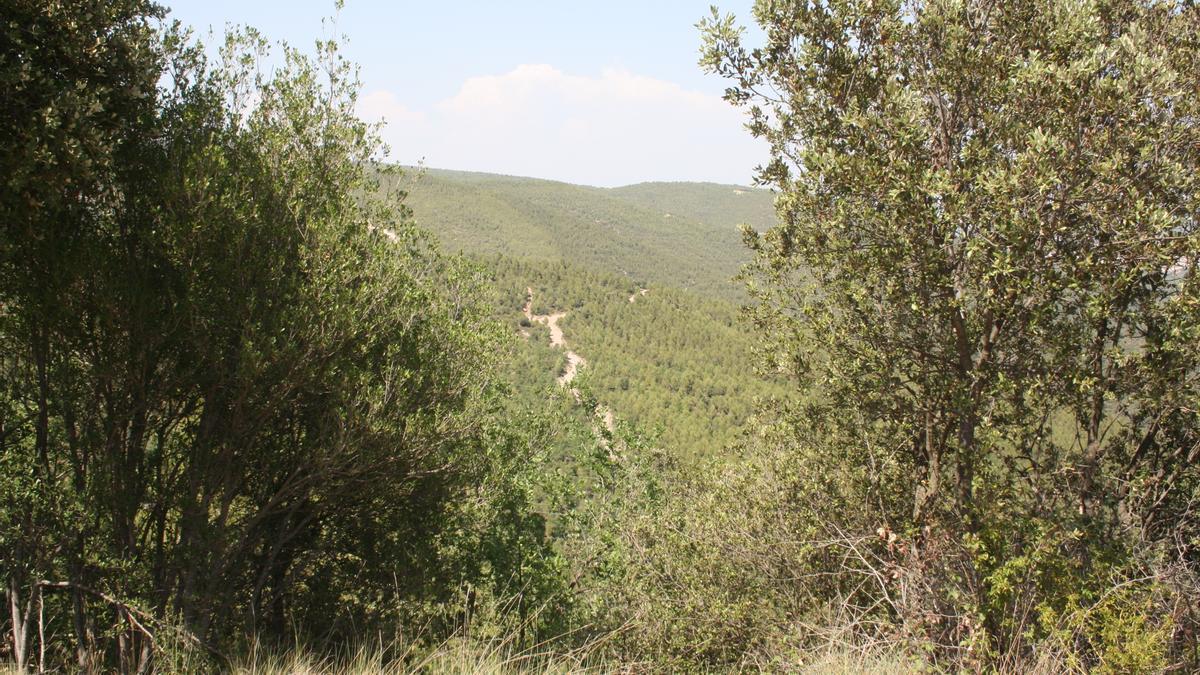 Un bosc regenerat a Sant Mateu de Bages