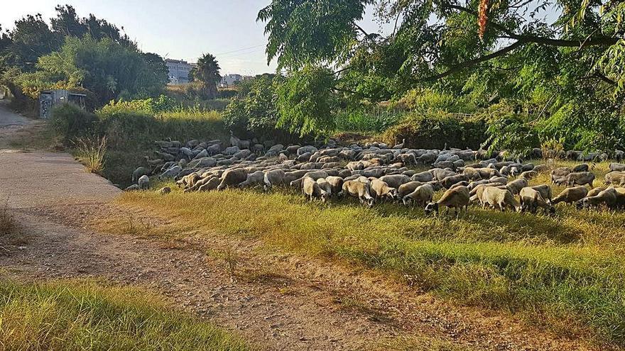 Pasto ovino contra la gota fría