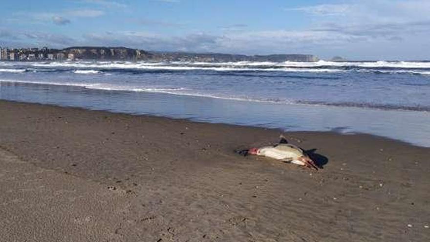 Un delfín aparece muerto a la bajamar en la playa de San Juan