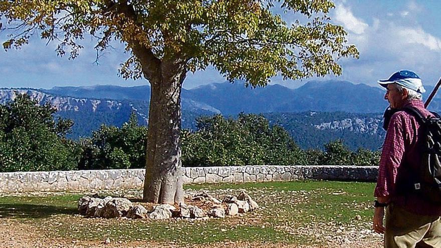 Tour bei Esporles: Aufstieg zum Lieblingsbaum der Mallorquiner