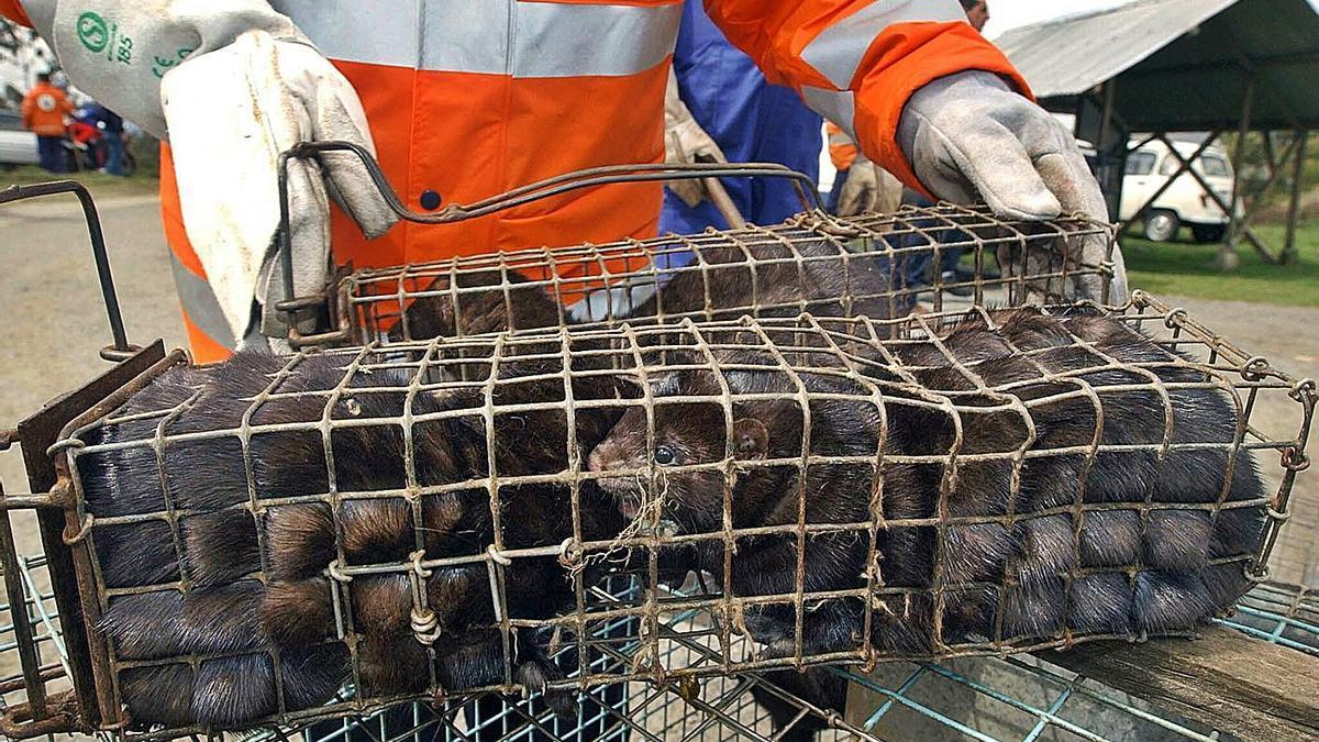 Visones de una explotación del Xalo, en una jaula, en 2004. |   // TORRECILLA