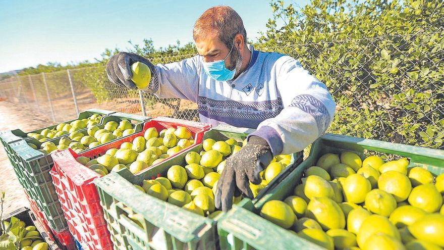 Agricultura detecta la entrada de la plaga de cotonet en la provincia, que amenaza al 80% de los cítricos