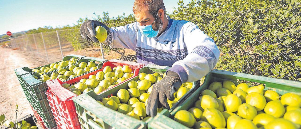 Un agricultor supervisa el calibre de los limones en una explotación agrícola de la Vega Baja.