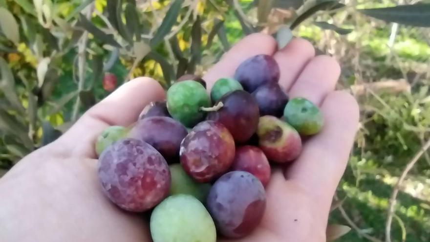 Olivenbauern auf Mallorca fürchten erneut miese Ernte