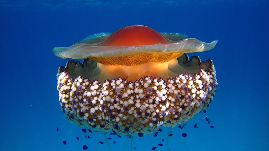 El Mar Menor, sin medusas jóvenes y con temperaturas elevadas