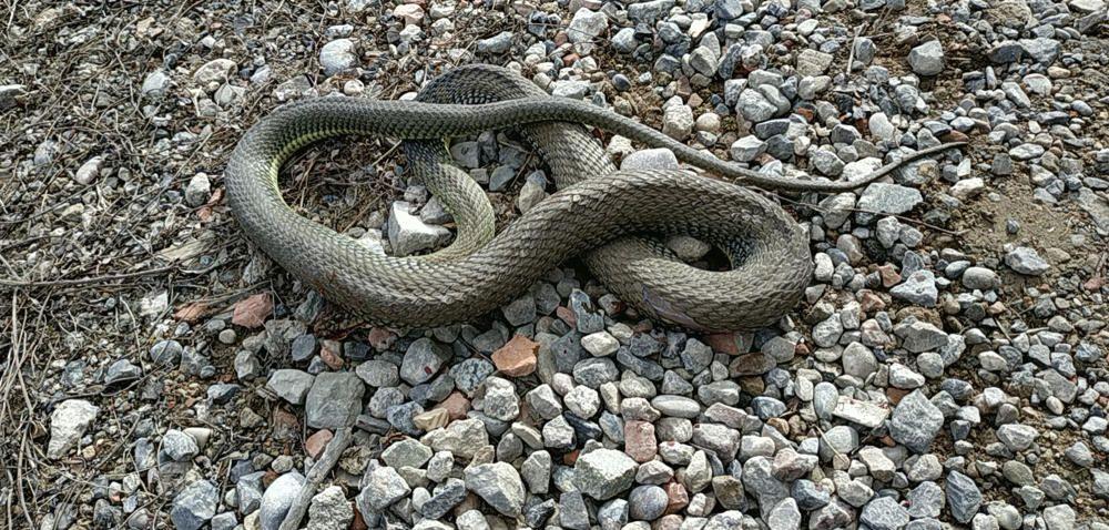 Serp. Fent una petita sortida pels voltants de Sant Llorenç de Morunys el nostre lector va trobar aquesta serp. Elles també comencen a sortir del seu amagatall, ja saben que la primavera  ha arribat.