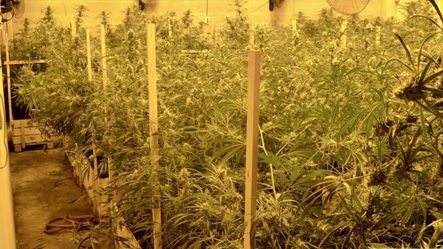 Desmantellen una plantació de més de 1.400 plantes de marihuana en una nau industrial de Vidreres