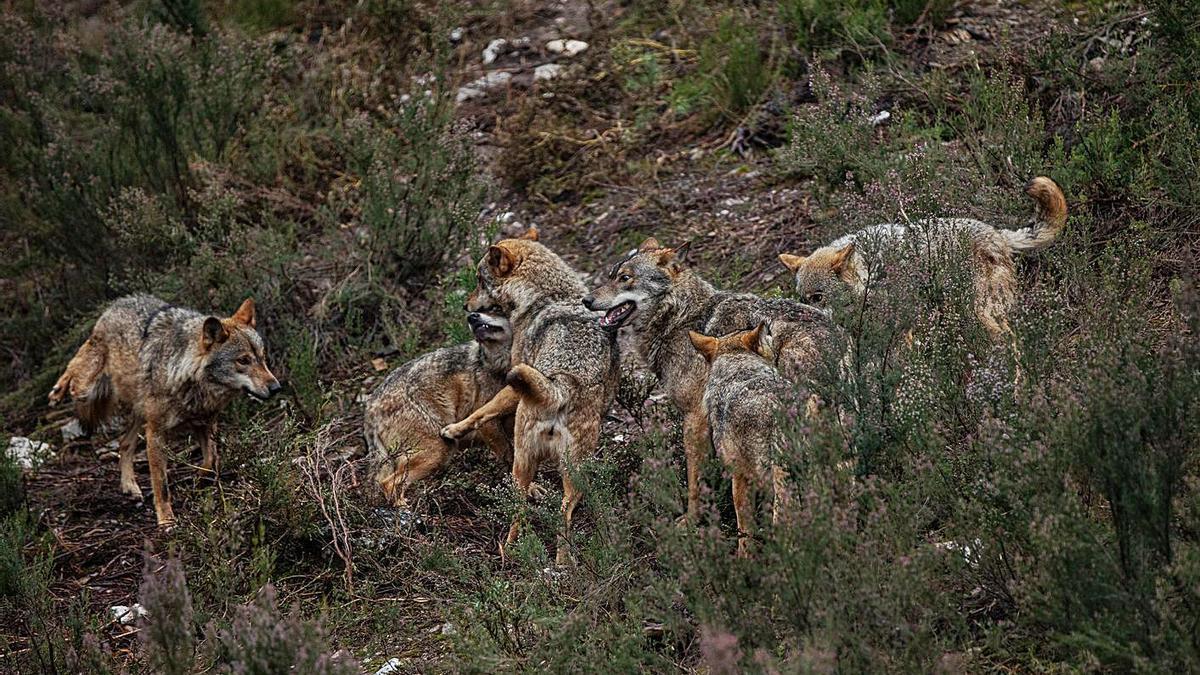 Ejemplares en el Centro del Lobo Ibérico de Robledo, en la comarca de Sanabria.   Emilio Fraile