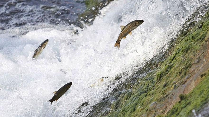 La boga desplaza a la trucha autóctona, qu'amenorga'l so númberu nel ríu Caudal