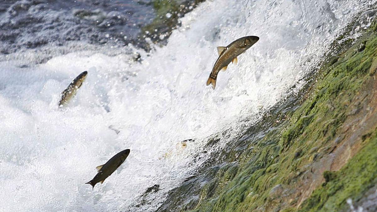 Delles bogues, remontando un saltu d'agua del ríu Nalón.
