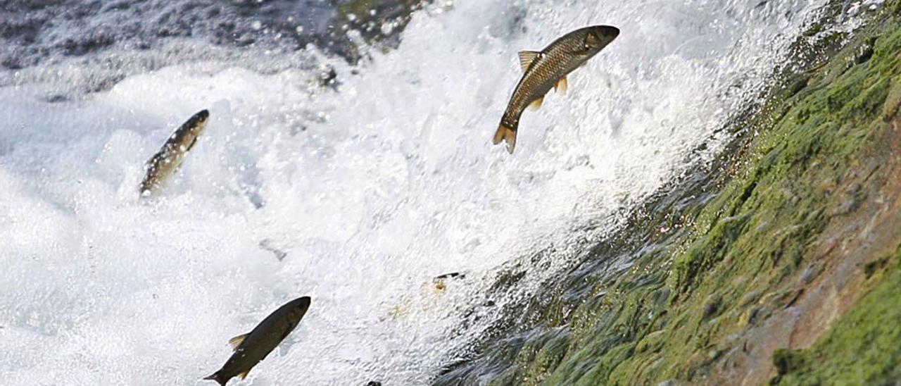 Varias bogas, remontando un asalto de agua del río Nalón.