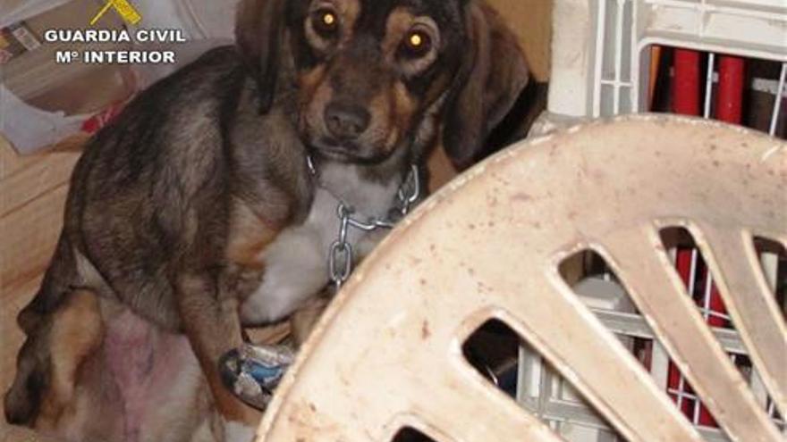 Decomisan el perro del vecino de Castellnovo que maltrataba a su burro