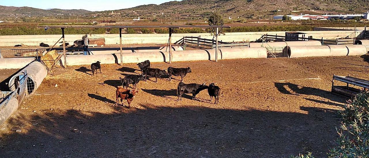 Las reses todavía en los corrales de la granja en una imagen de principios de semana. | LEVANTE-EMV