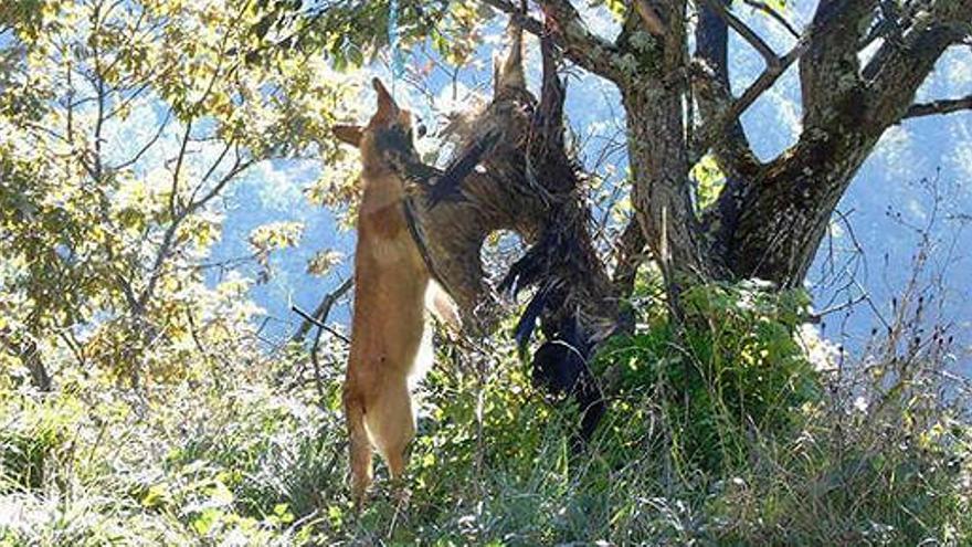 Encuentran a un perro y un buitre ahorcados en Asturias
