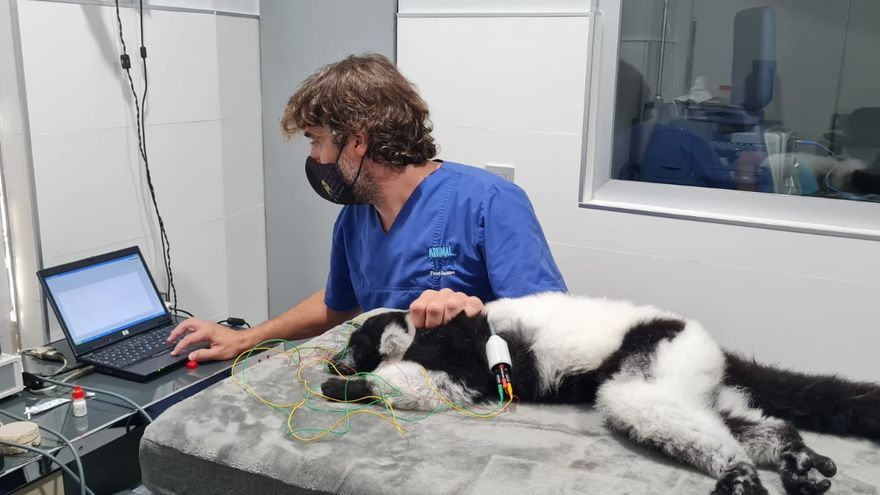 Primer lémur operado con éxito de cataratas en Bioparc Fuengirola