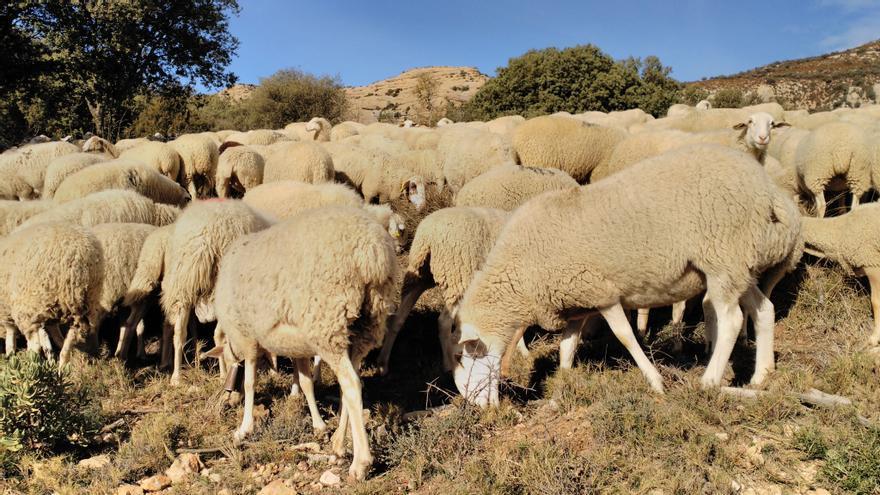 Más de medio millón de euros para los ganaderos aragoneses con explotaciones en zonas con presencia continuada de lobo y oso