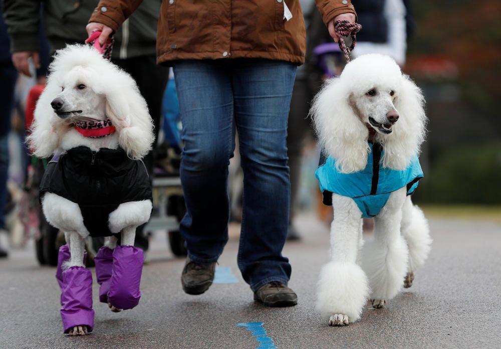 Crufts Dog Show, l'exhibició de gossos més gran d'Anglaterra