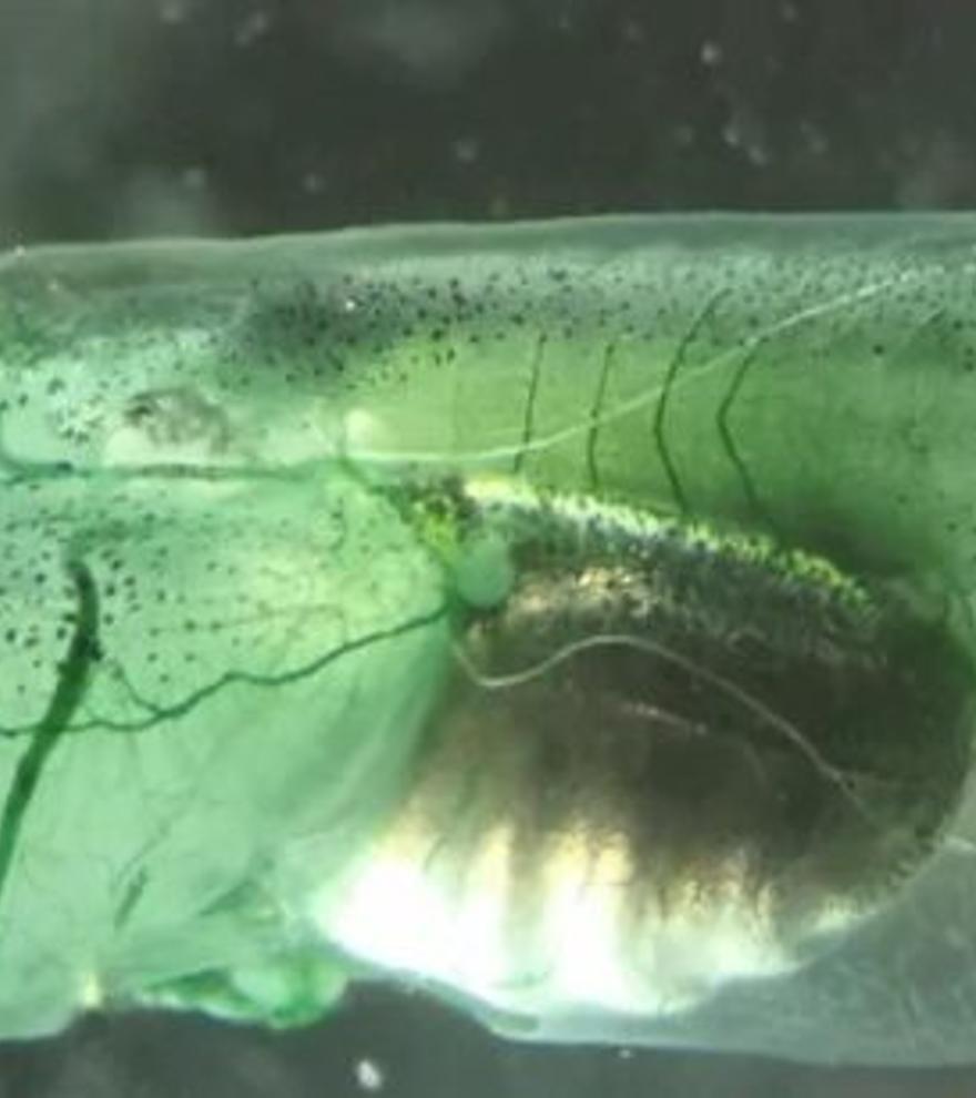 Crean en laboratorio una criatura que no necesita respirar: el oxígeno llega a las neuronas por fotosíntesis