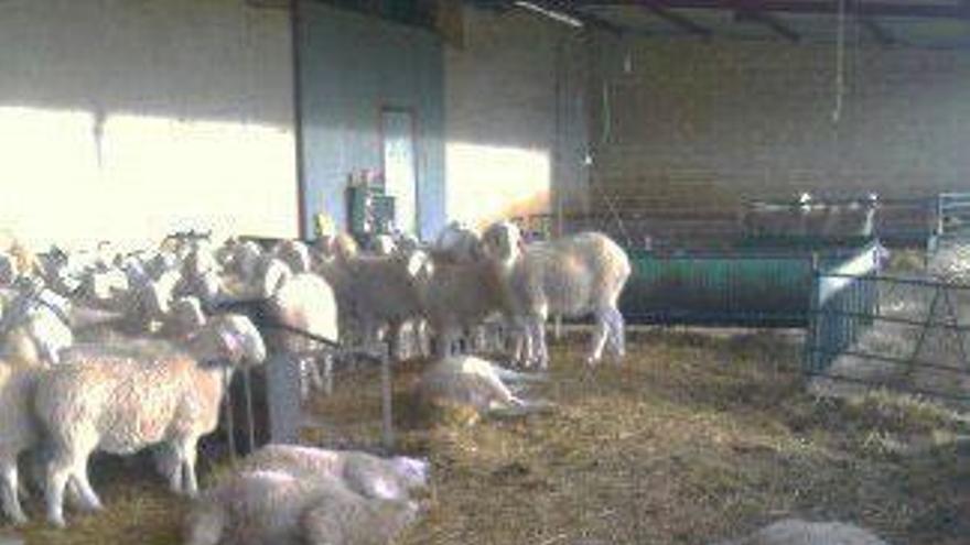 Algunas ovejas muertas tras el ataque sufrido el 21 de diciembre.