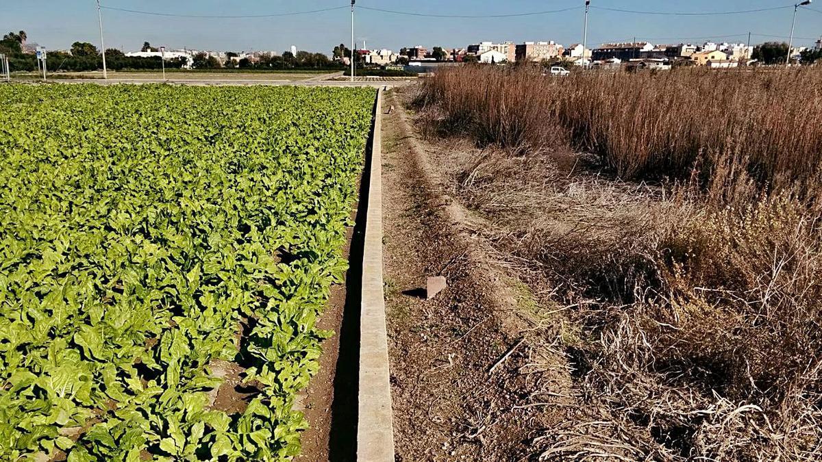 Un campo cultivado junto a otro abandonado en la huerta de València. | LEVANTE-EMV