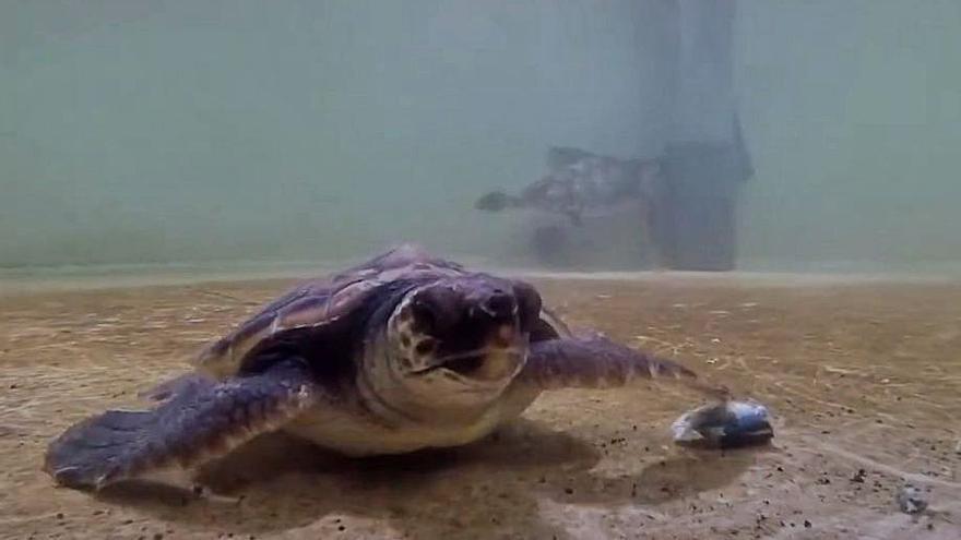 Dos tortugas nacidas en Ibiza coinciden en el Oceanográfico de Valencia siete meses después