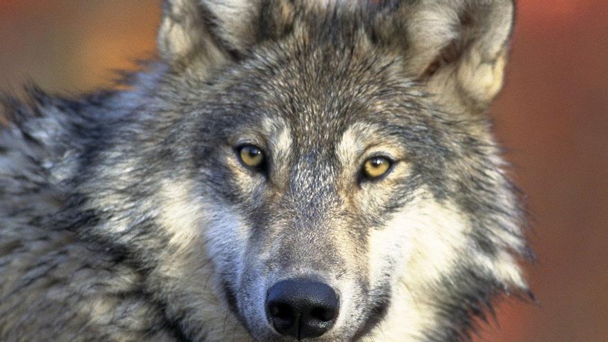 El Noroeste, en pie de guerra por el lobo: abandona el grupo de trabajo del Ministerio y crea el suyo propio