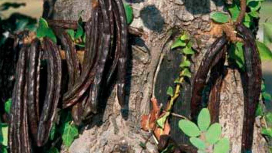 Lletra menuda | La regeneración del algarrobo