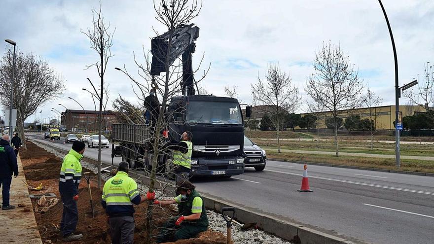 Igualada plantarà arbres per valor de 170.000 euros als carrers de la ciutat
