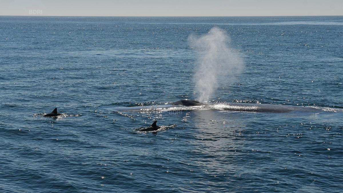 Una de las grandes ballenas identificadas en las Rías Baixas.
