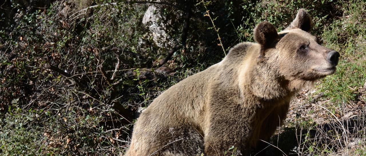 Uno de los osos pardos que habitan en la cordillera Cantábrica.