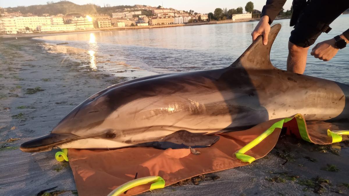 Imagen del delfín varado en la playa da Ladeira de Baiona