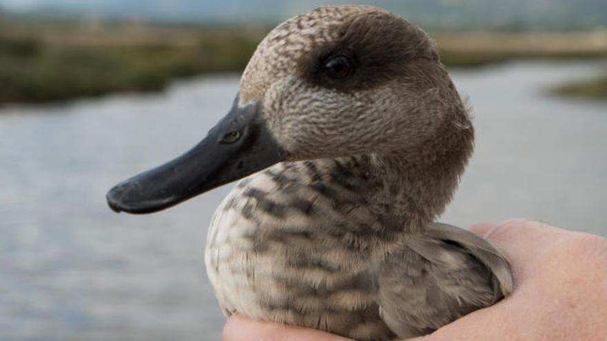 Geschützte Enten aus Deutschland finden neue Heimat auf Mallorca