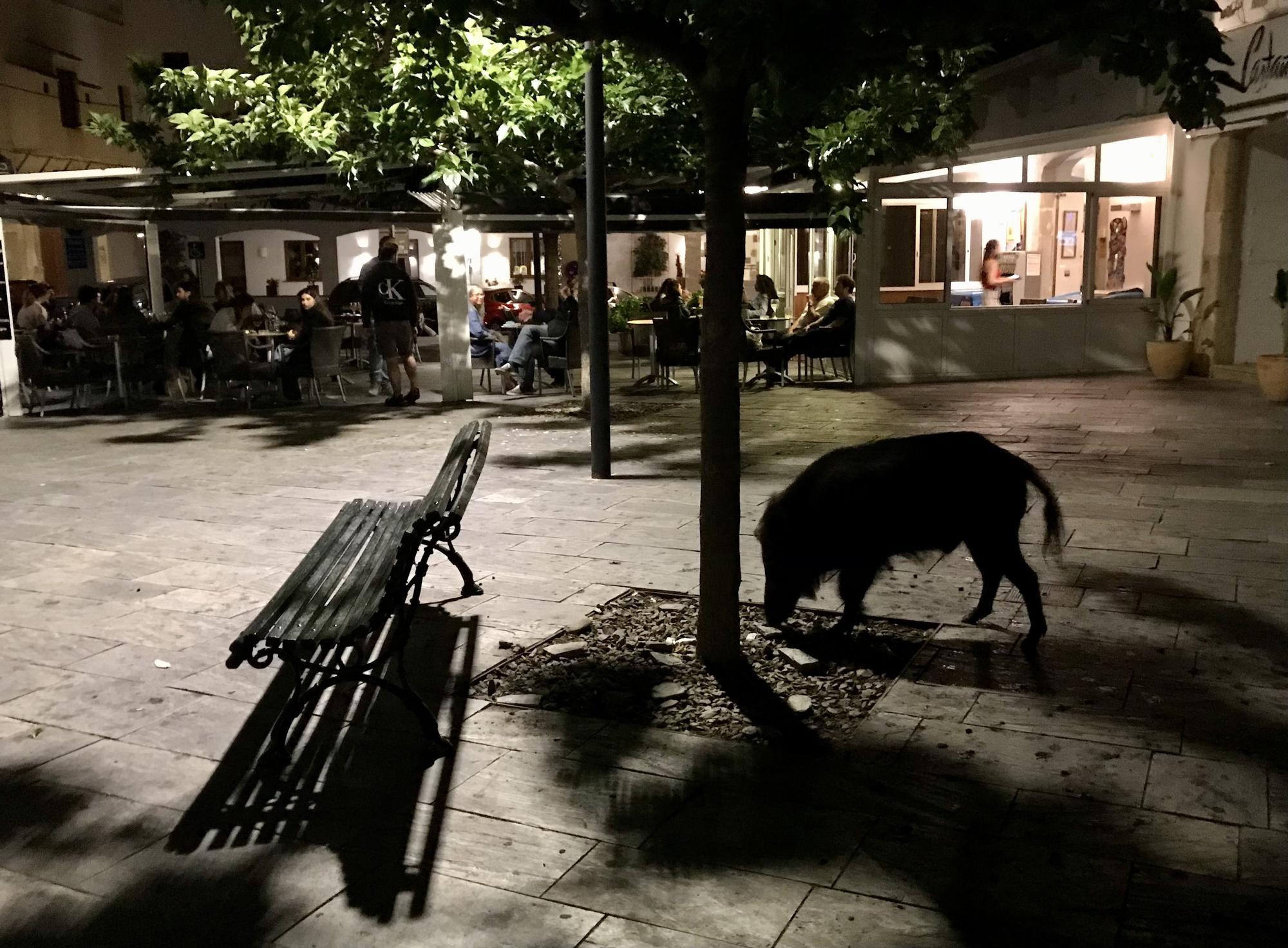 Un senglar es passeja pel centre de Cadaqués
