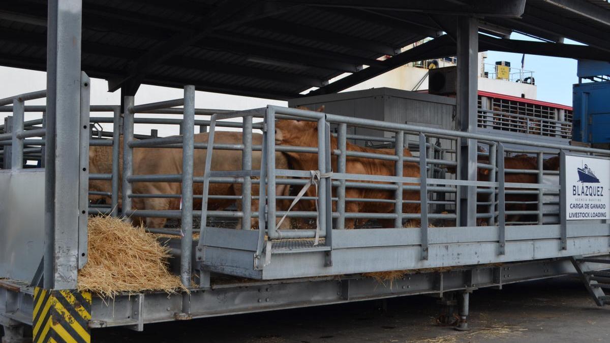 Un rebaño de ganado a punto de partir en el muelle de salida del Puerto de Cartagena . a. P. C.