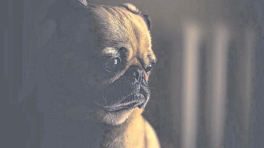 ¿Puede un perro tener alzhéimer?