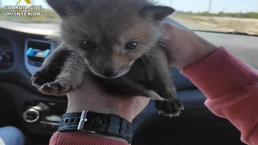 Intervienen en Pinoso una cría de zorro que se vendía por 550 euros en una web de anuncios