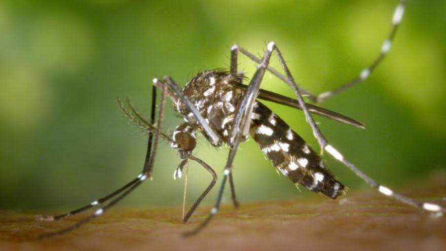 Trampas a los mosquitos tigre para analizar sus huevos