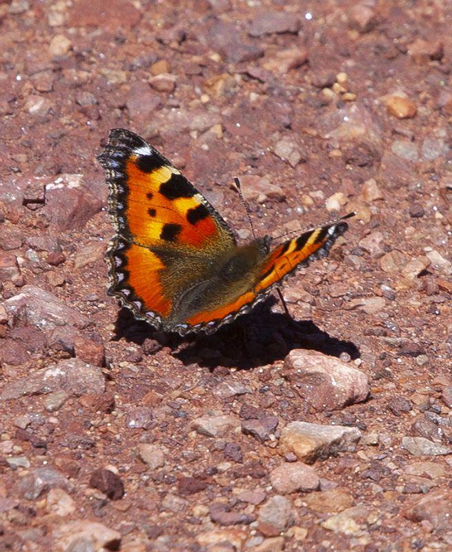 Mariposa Aglais Urticae en el Parque Natural de Somiedo