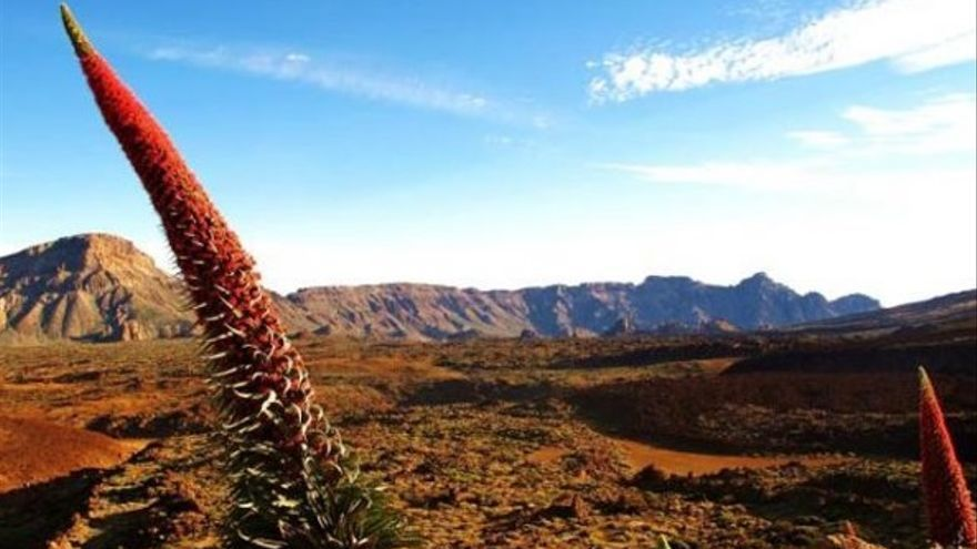 El tajinaste y la retama llenan el Teide de color