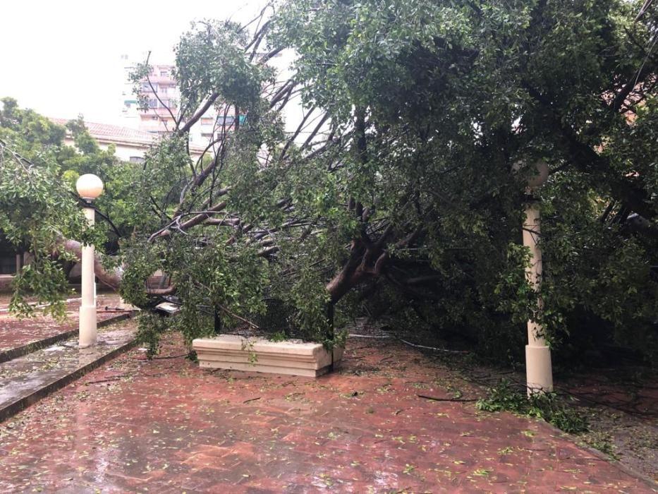 Ficus derribado por el temporal en Juzgados de Alicante.