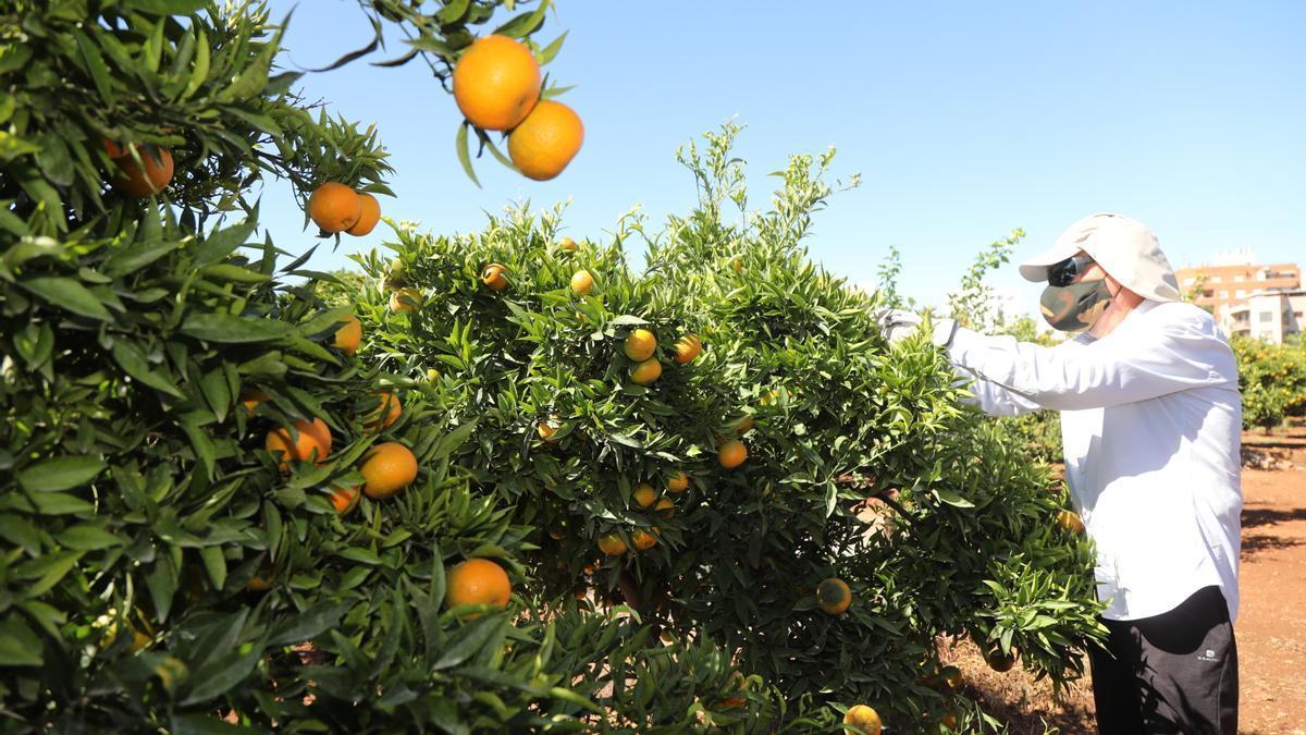 Un agricultor en su huerto de naranjos en Castellón.