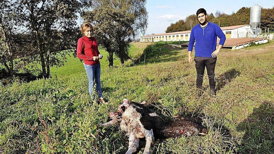 El lobo mata una novilla de 7 meses en una explotación de porcino y vacuno de Rodeiro