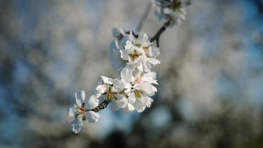 Las fotos del espectáculo de los almendros en flor en Mallorca