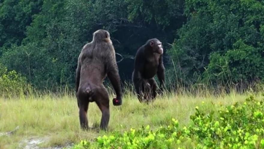 Los humanos perdieron las caderas giratorias para dar zancadas más cortas que los chimpancés