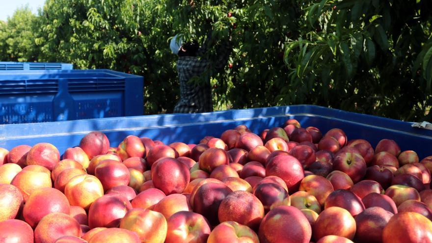 Comença la collita del préssec i la nectarina al Baix Segre en una campanya marcada per la caiguda de la producció