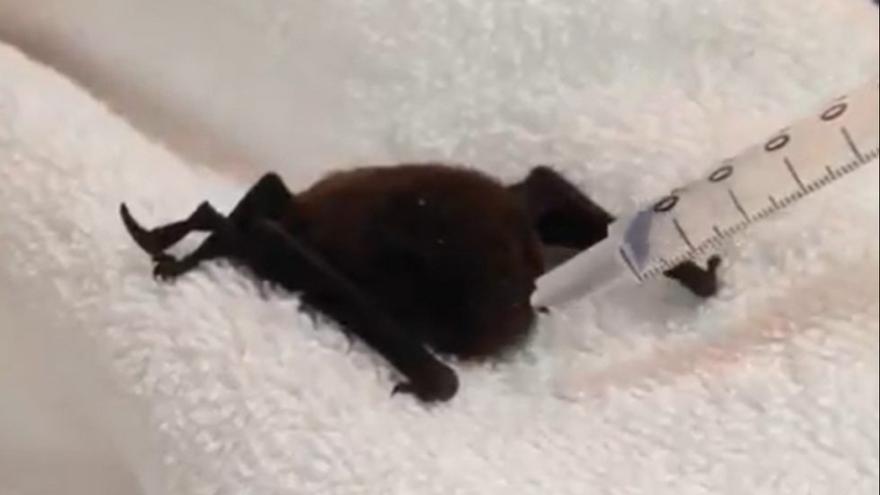 Un murciélago se cuela en una guagua en Canarias