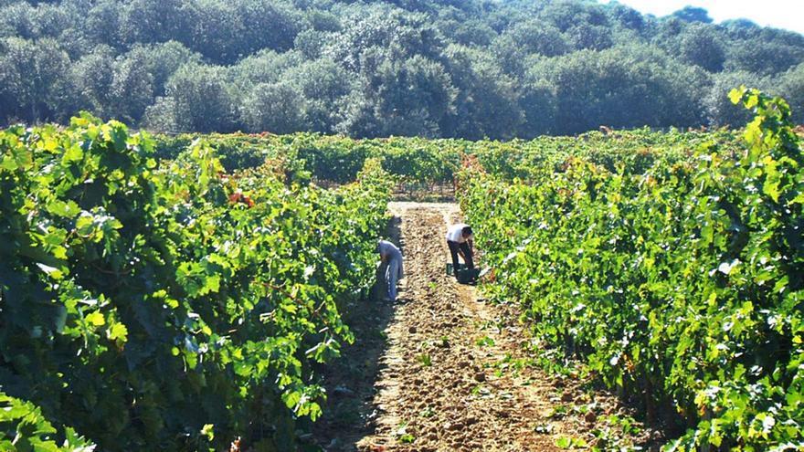 La DO Toro recomienda intensificar la vigilancia del viñedo tras detectar brotes de mildiu