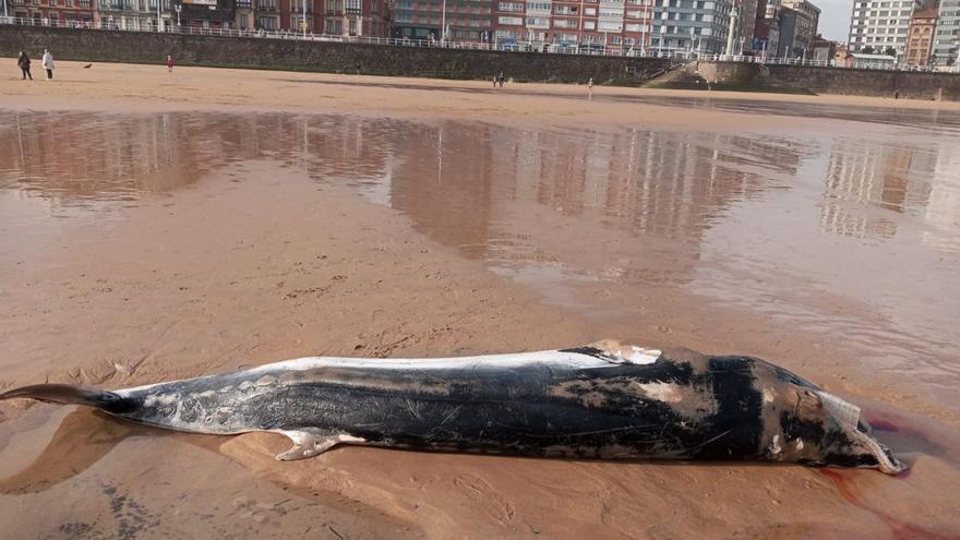 Localizan el cuerpo sin vida de una pequeña ballena en San Lorenzo