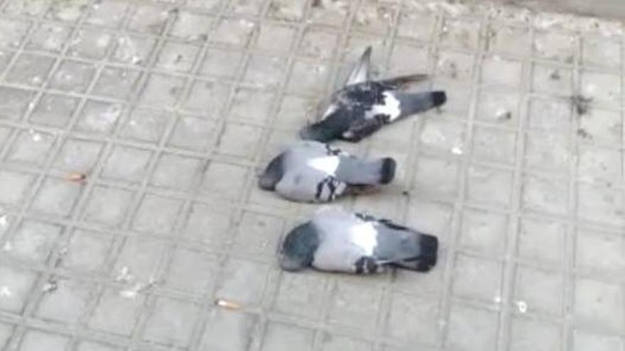 Envenenamiento masivo de palomas en Elda